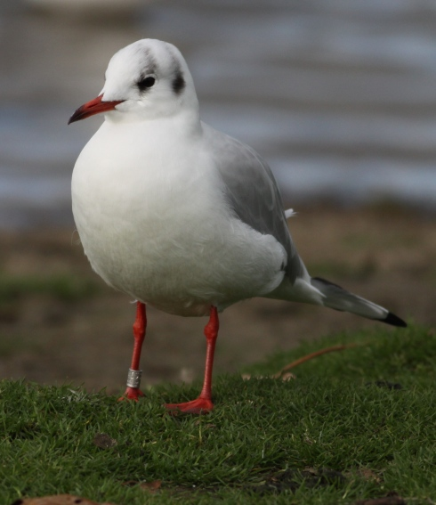 Swedish rung Black-headed Gull back for its 2nd winter