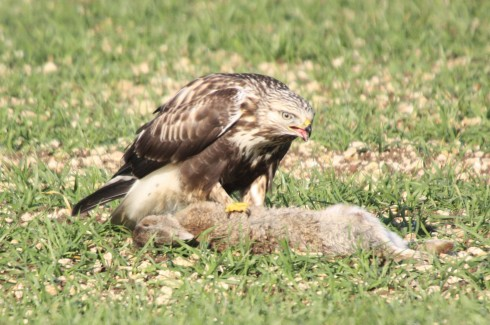 rough legged buzzard (2)