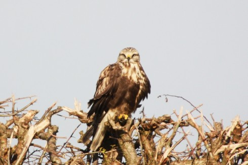 Rough-legged Buzzard - Alan Elkin