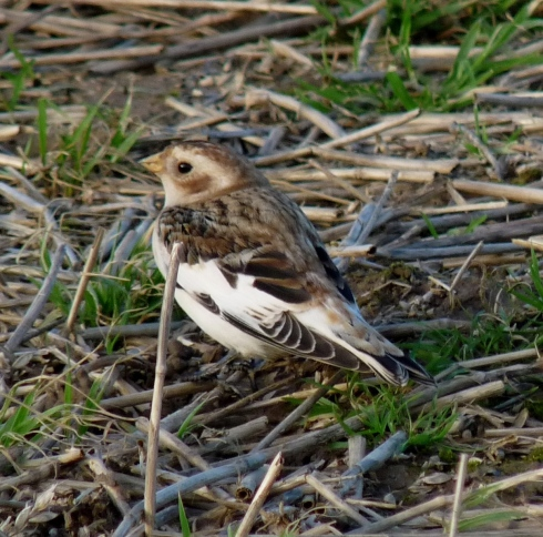Snow Bunting - Ade Johnson