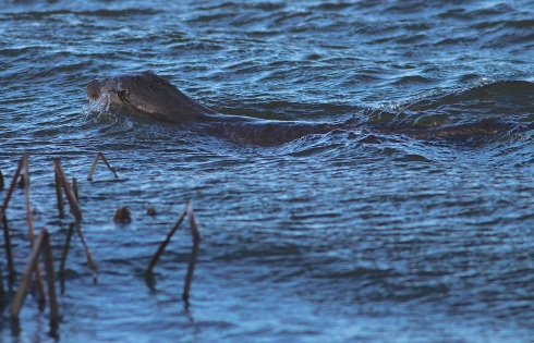Otter from the Wassand hide