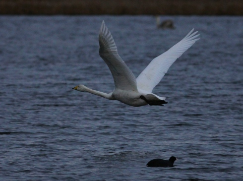 Whooper Swan from Wassand hide