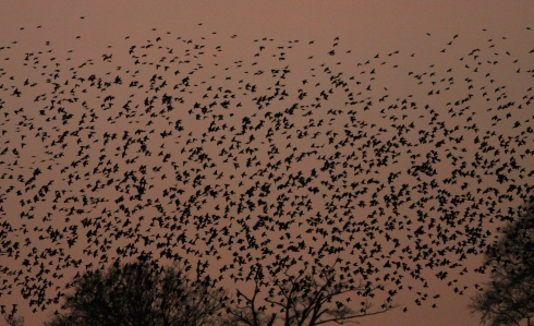 a fraction of the Starling roost in Decoy