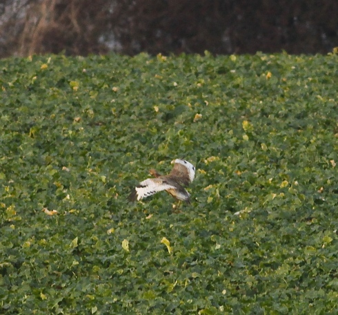 record shots of the Bustard briefly in flight
