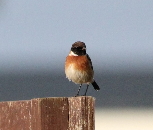 Stonechat, South Cliff - Jeff Cox