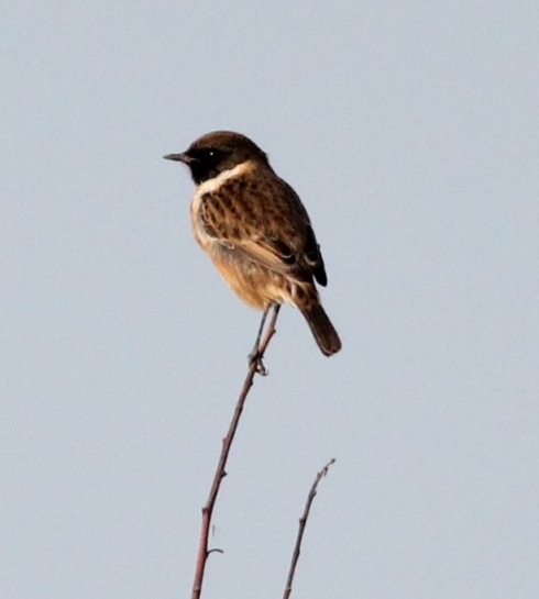 Stonechat , South Cliff - Jeff Cox