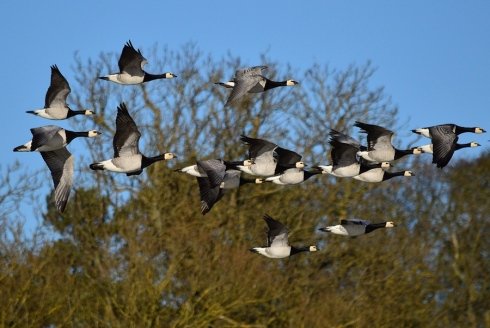 Barnacle Geese - Chris Cox