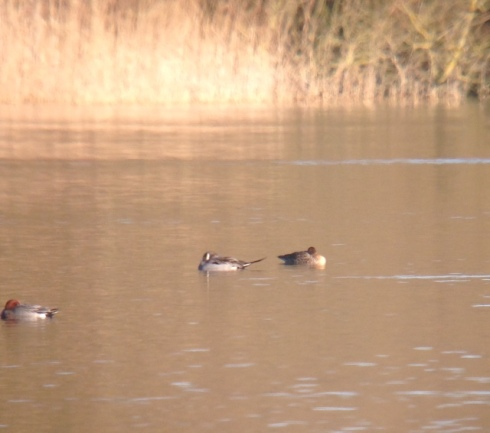 pair Pintail distantly from HVWG hide