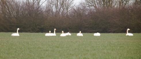 Whooper Swans off Bewholme Rd