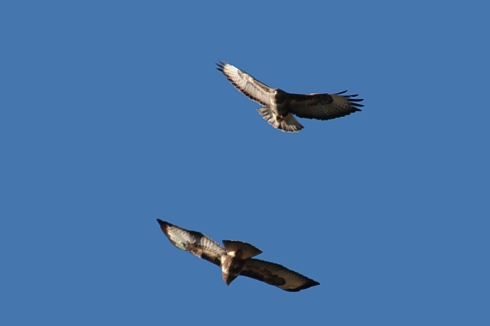 Common Buzzards over Decoy - Chris Cox