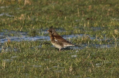 Fieldfare in 2nd field