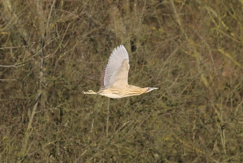 Bittern flying in from the West end of Decoy