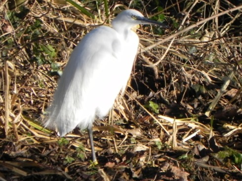 colour-ringed Little Egret, North Frodingham - Chris Dixon