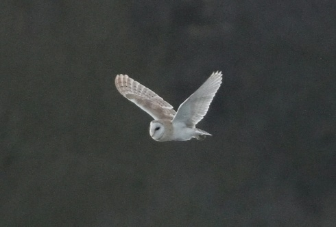 Barn Owl in Wassand - Rich Willison