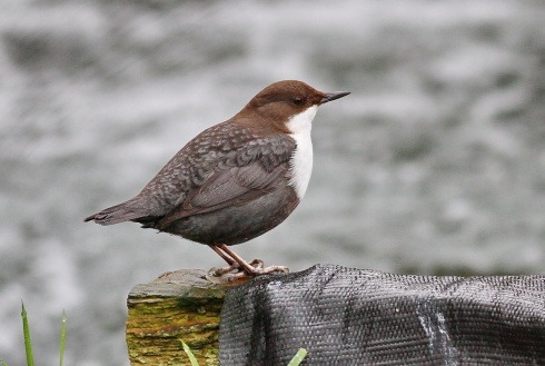 Black-bellied Dipper - Rich Willison