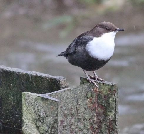 Black-bellied Dipper - Dicky Ticker