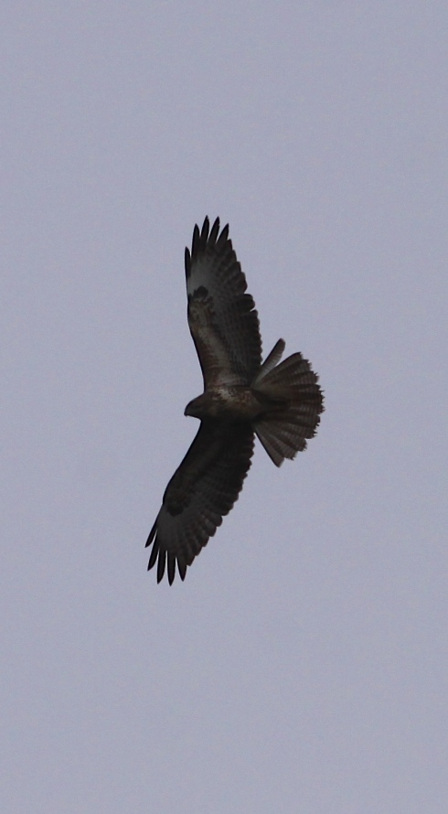 Common Buzzard over Heslop's