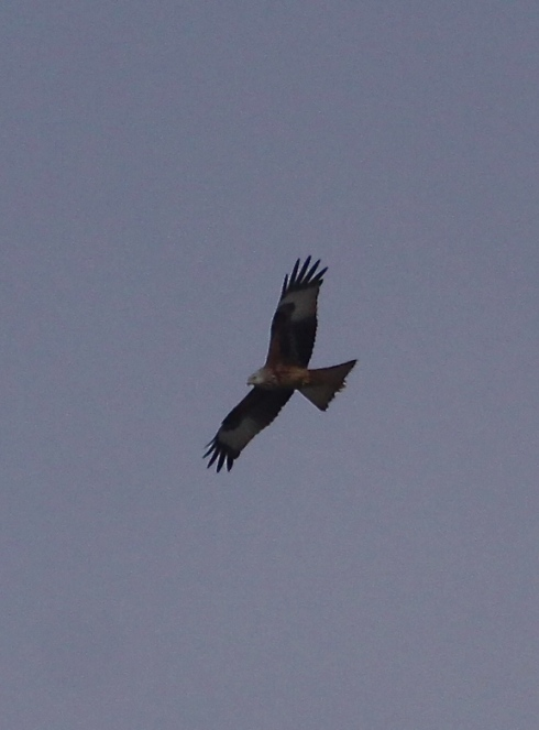 Red Kite over the Mere