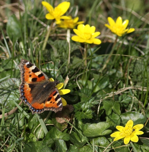 Small Tortoiseshell - several seen today around the Mere