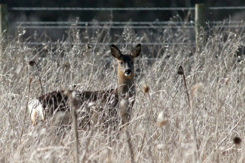 Roe Deer up by Ouzel Hedge - Jeff Cox