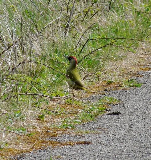 Green Woodpecker at Cowden - Ade Johnson