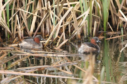 pair Little Grebe from the hide - Jeff Cox
