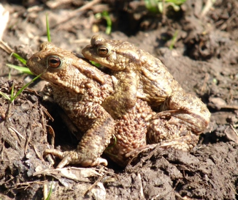 Common Toads along the Walk