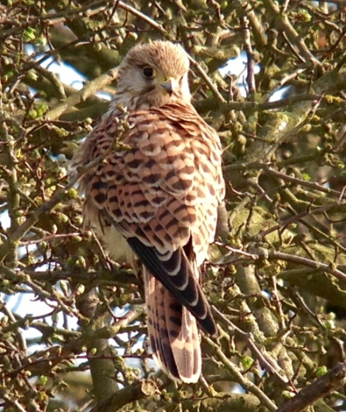 Kestrel in 1st Field