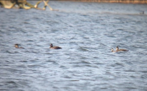 3 Scoters and the Black-necked Grebe