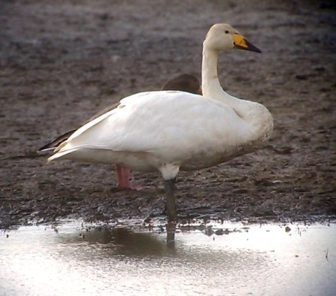 a late Whooper Swan at Tunstall - Tim Isherwood