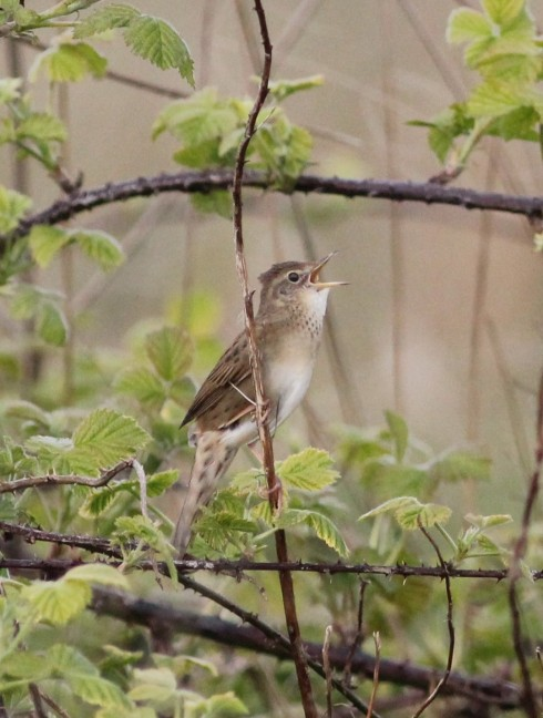 local Grasshopper Warbler - Jeff Cox