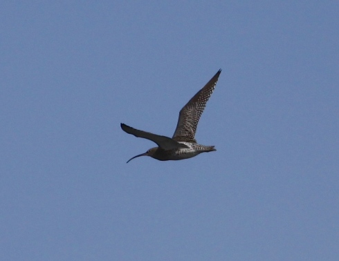 Curlew over