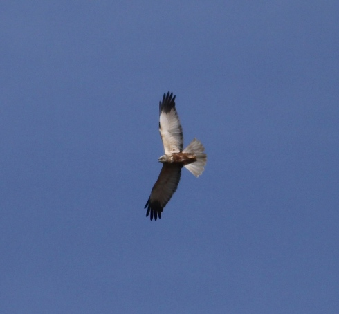 male Marsh Harrier high over Wassand late am
