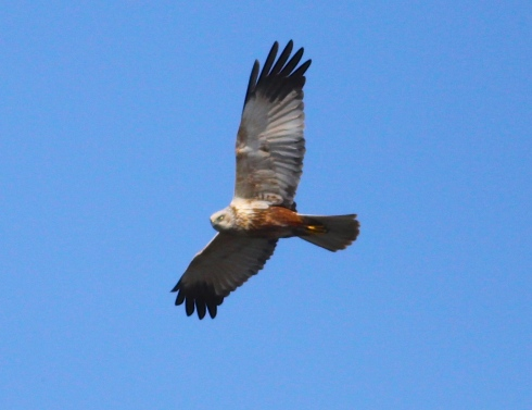 male Marsh Harrier over Decoy Bay