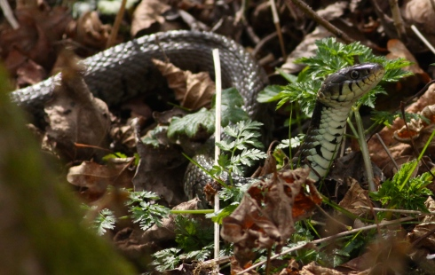 Grass Snake on the Woodland Walk