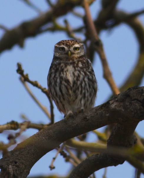 local Little Owl