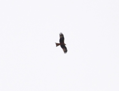 Red Kite - over 1st field