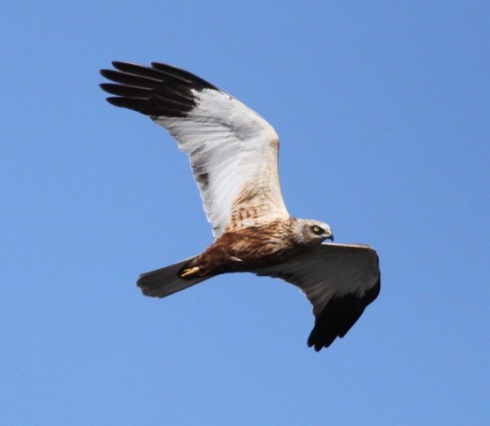 2014 male Marsh Harrier back in Wassand today