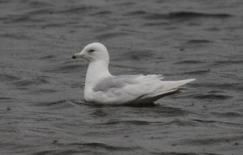 Iceland Gull off KP carpark