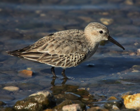 Dunlin on KP - Alan Elkin