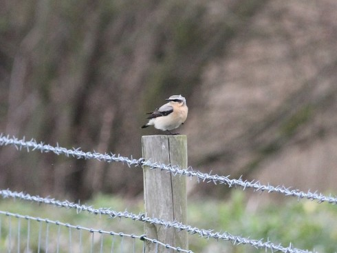 male Wheatear 1st field - Jeff Cox