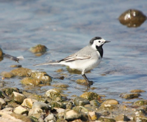 White Wagtail on KP - Alan Elkin