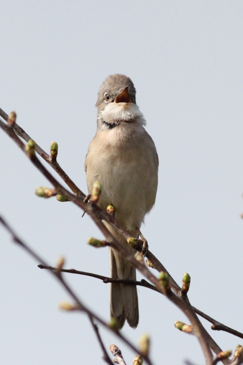 Whitethroat - Jeff Cox