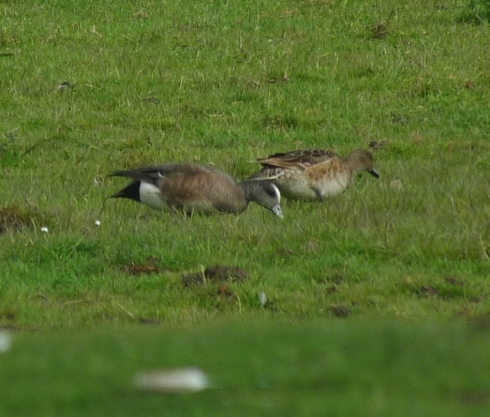 pair American Wigeon - Ade Johnson