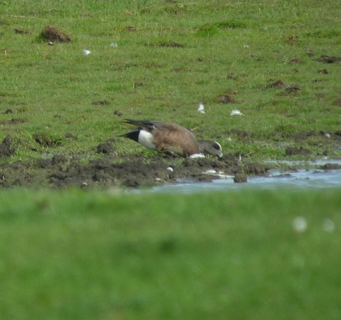 drk American Wigeon - Ade Johnson