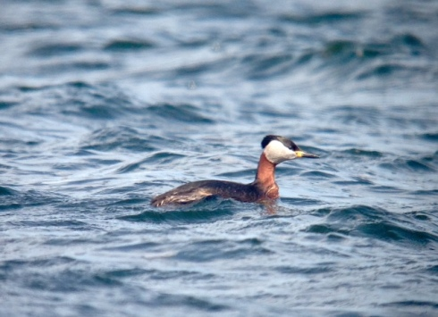 phonescoped Red-necked Grebe