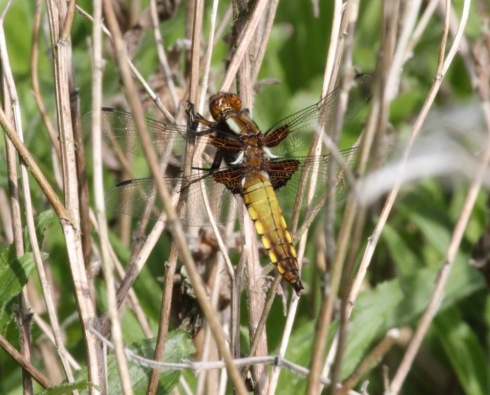 female Broad-bodied Chaser - Jeff Cox