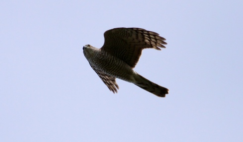 Sparrowhawk over Ouzel Hedge