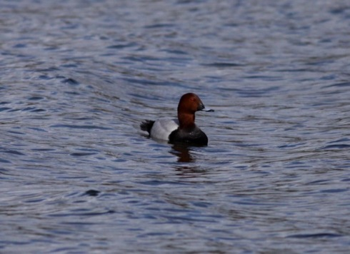 drk Pochard from Wassand hide