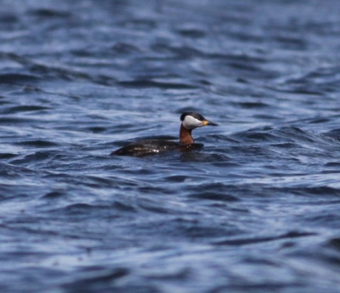 Red-necked Grebe off 3rd field